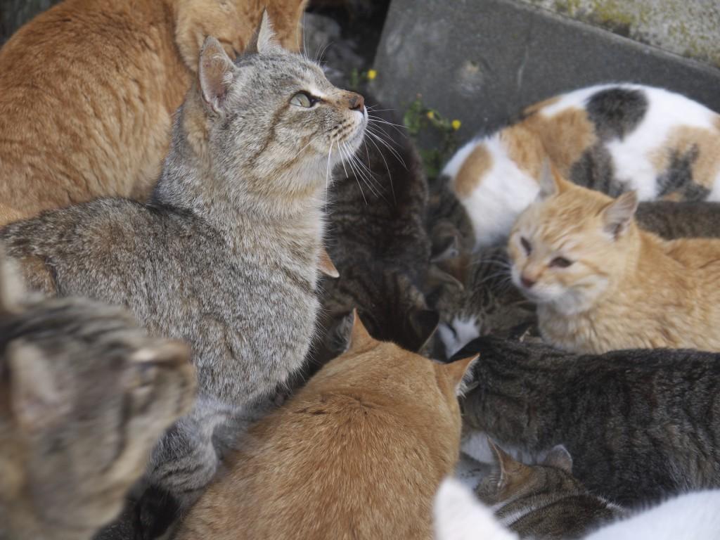 Large group of hungry cats feeding on japanese Aoshima cat island